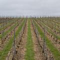 des vignes bien propre