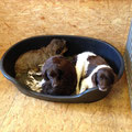 Ausruhen im Hundezimmer im Kleiner Münsterländer Zwinger vom Hegstrauch