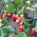介護タクシーでイチゴ狩り いちご苺