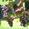 Weintrauben an den Reben um Tannenkirch