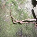 In den Baum gewachsener Stacheldraht