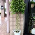 ベンジャミン タワー仕立て SOLDOUT、豊川市、花屋