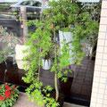 紅葉『流泉』 SOLDOUT、豊川市、花屋