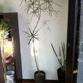 ブラキキトン 黒陶器 SOLDOUT 注文可、豊川市、花屋