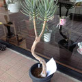 激レア アロエ『ディコトマ』 木立アロエの中では世界最大になる品種です、豊川市、花屋