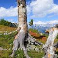 Monatsbild September 2013 - Reiteralm in der Steiermark: Der Weg zum Spiegelsee führte an alten Kiefern vorbei, und die Blätter der Heidelbeeren färbten sich schon ins herbstliche Rot.