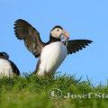 Monatsbild August 2013 - Papageientaucher: Bei unserer Reise durch Island haben wir eine Steilküste mit Papageientaucher besucht. Diese Vögel kann man stundenlang bei ihren lustigen Aktivitäten beobachten.