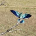 Blauracke Extremadura, SP (c) Wolfgang Dreyer