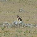 Zwergadler Extremadura, SP (c) Wolfgang Dreyer