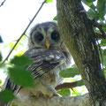 African Wood owl, Südafrika, März 2001, (c) Doro Koch