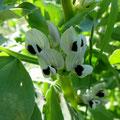 Blüten einer Ackerbohne