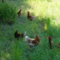 Hühner mit viel Freilauf und Schutz gegen Sonne