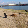 Dexter am Rhein (Beeck)