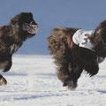 Xando beim Schneecoursing Januar 2010