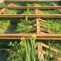 nurserie ensemencée en colza
