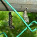 ④前蛹と蛹 2015.05.13 藤沢市