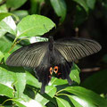 ➁成虫春型♀ 2011.04.27 青葉区O