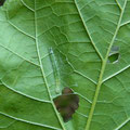 ➁ ①の葉裏にいた幼虫「