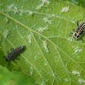 ③ ➁と同個体(左はナミテントウの幼虫)