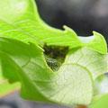 ⑤巣内の幼虫