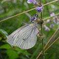 ⑧夏型♂ 2012.07.18 青葉区O アズチグモに捕食