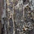 ①2018.12.13 青葉区 立ち枯れ木