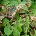 ⑤ ④と他数匹のいる木の食痕