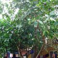 カンポン(マレー農耕集落)で見つけたフルーツのなる樹