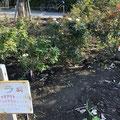 ノックアウト3品種 平塚市 なでしこ公園 2018年10月28日
