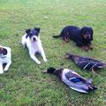04.11.: Mir ist bei einer Spontan-Aktion eine Enten-Doublette bei Martin geglückt, die Hunde hatten eine Freude im Wasser!