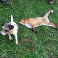 16.11.2013, Treibjagd Ettendorf: Der Fuchs wurde laut Garmin und Angaben von Schützen im zweiten Trieb sehr rasch von Rocky aus dem Bau gesprengt