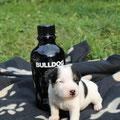 """""""Bulldog vom Woisbach"""" - also wenn DER Name nicht passt :-) (Rüde 3)"""