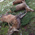 31.12.2013: Silvesterjagd im Drautal, 1 IIIer Hirsch, 1 Tier, 1 Kalb, 1 Gamsgeiß