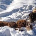 07.02.2015, Baujagd: Nach einigen unbefahrenen Bauen konnte Kira diese Fuchsfähe binnen kürzester Zeit aus einem Durchlass sprengen und ein Kollege konnte sie mit einem super Schuss erlegen! WMH!