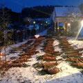 30.01.2015, Streckenlegung der Wochen des Raubwildes in St. Margarethen/Lav.: 46 Füchse und 5 Marder konnten hier zur Strecke gelegt werden