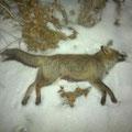 Der Fuchs vom 22.02.