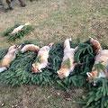 14.12.2013, Treibjagd Lamm: 4 Füchse, 1 Hase