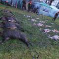 22.&23.11. als Hundeführer bei Drückjagden in Deutschland: Symbolische Streckenlegung, insgesamt wurden in den 2 Tagen 37 Sauen, 52 Rehe, 13 Füchse und 3 Hasen erlegt