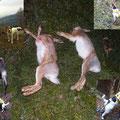 01.12. / Treibjagd Hintergumitsch: 1 Waldschnepfe, 2 Hasen und 1 Eichelhäher. Hier habe ich Kira das erste Mal bei einer Treibjagd geschnallt, sie entfernte sich aber nie weit weg von mir, wird aber sicher noch werden ;-)
