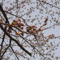 開花を待つ桜