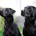 Aidens Eltern - Ivy und Cash    © Clockwork Labradors