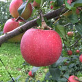 """岩本農園さん訪問、たわわに実った芸北りんご""""つがる"""""""