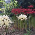 紅白の彼岸花✿