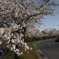 ③とよひらどんぐり村~桜がただいま満開です!!