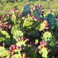 Manta Rota - Opuntien mit Kaktusfeigen
