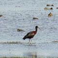 El Rocio - schwarzer Ibis