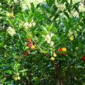 Gleichzeitig blühender und fruchtender Erdbeerbaum im Schlosspark