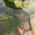 Flusskrebs im Lac de Pareloup.