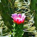Arcos de la Frontera - blühender Kaktus