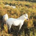 Die weißen Pferde der Camargue.